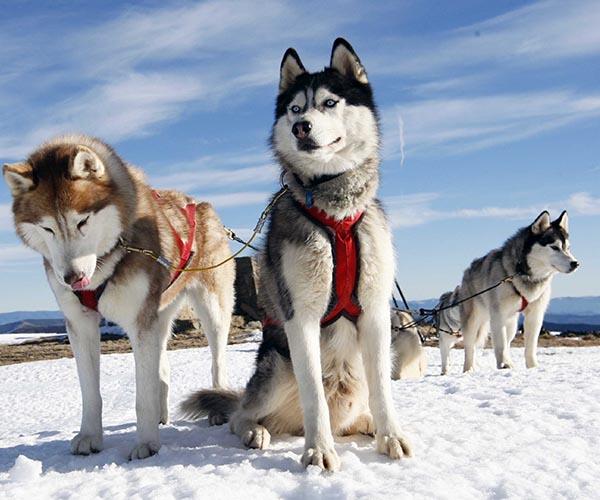 Šunų kinkiniai
